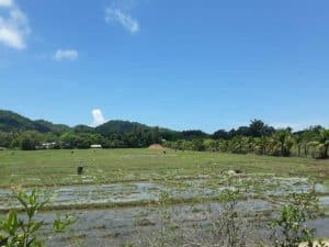Rice Field @ Koh Yao Noi